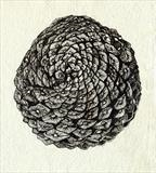 Pine Cone by Jackie Abey, Drawing, Pen on Paper